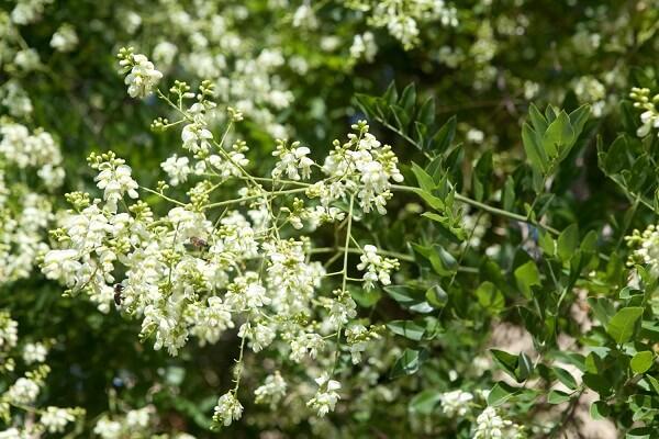 hoa hòe có giảm cân không, hoa hòe giảm cân, Cách sử dụng hoa hòe giảm cân