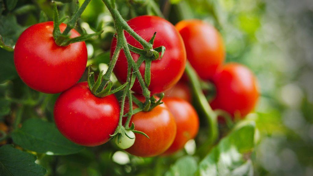 cà chua calo, cà chua bao nhiêu calo, cà chua chứa bao nhiêu calo, cà chua bi có bao nhiêu calo, calo trong 1 quả cà chua, calo cà chua, 100g cà chua có bao nhiêu calo, đậu sốt cà chua có bao nhiêu calo, calo trong cà chua, 1 quả cà chua bao nhiêu calo